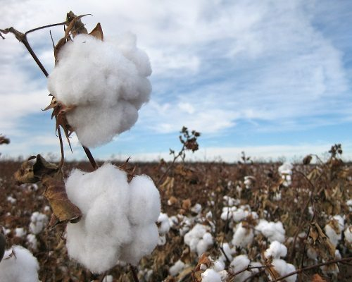 Cotton Growers to Gather January 11 for Annual Conference