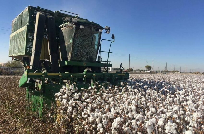 Borderland Farmers Busy Harvesting Industry-Best Cotton