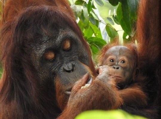 El Paso Zoo Raising Orangutan Awareness with M.O.M. Event on Mother's Day