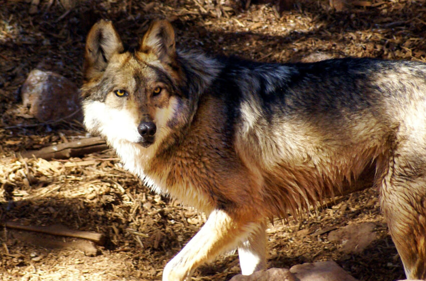 Mexican Grey Wolf joins Pack at El Paso Zoo