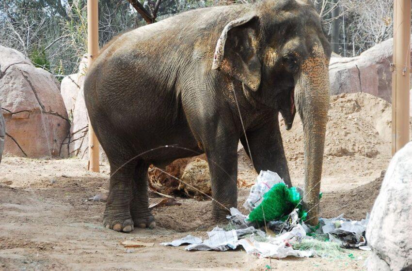 El Paso Zoo Elephants to Predict Super Bowl Winner Saturday