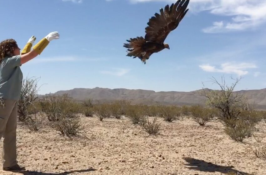 El Paso Zoo Releases Rehabilitated Eagle into the Wild