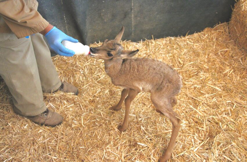 El Paso Zoo Welcomes Male Pronghorn Fawn