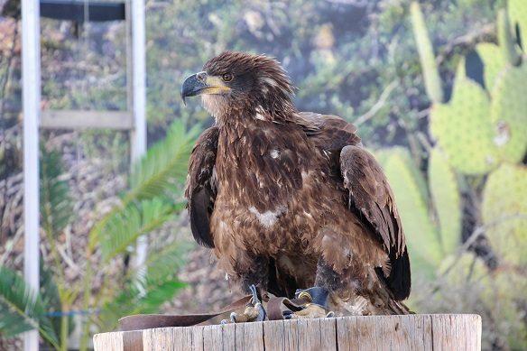 El Paso Zoo Celebrates International Eagle Day by Debuting Bald Eagle at Bird Show