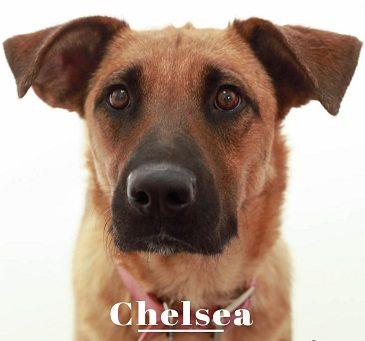 Animal Services Pet of the Week: Meet Chelsea!