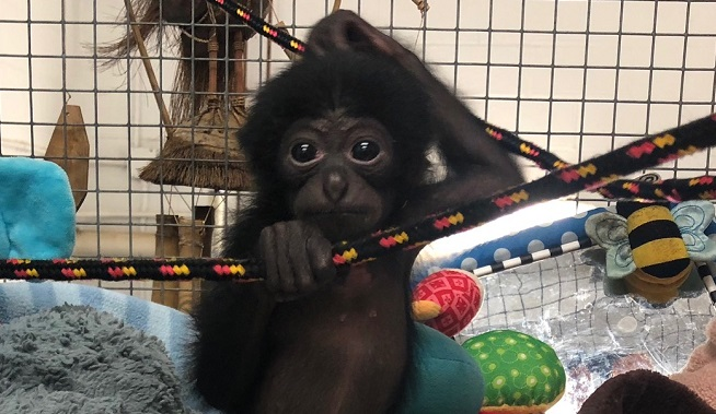 El Paso Zoo Announces Arrival of Deja, the Baby Siamang