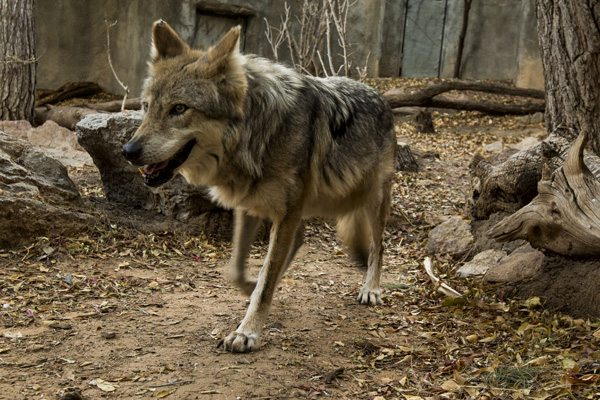 El Paso Zoo Supports long-term Mexican Wolf Conservation