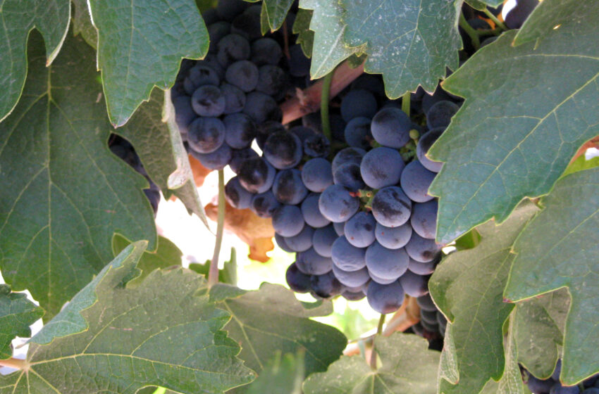 NMSU to host Third Annual Grape Day Saturday