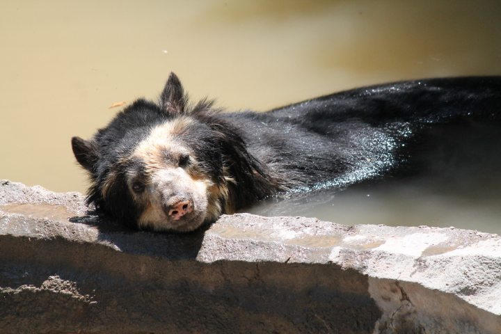 El Paso Zoo Staff Say Goodbye to Guapo, the Andean Bear