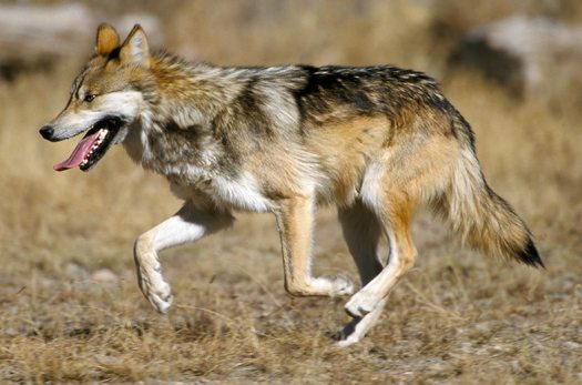 Group Says Efforts to Save Mexican Wolf Fall Short