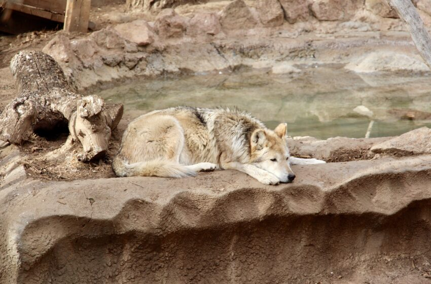 El Paso Zoo Mourns the death of Mexican Wolf