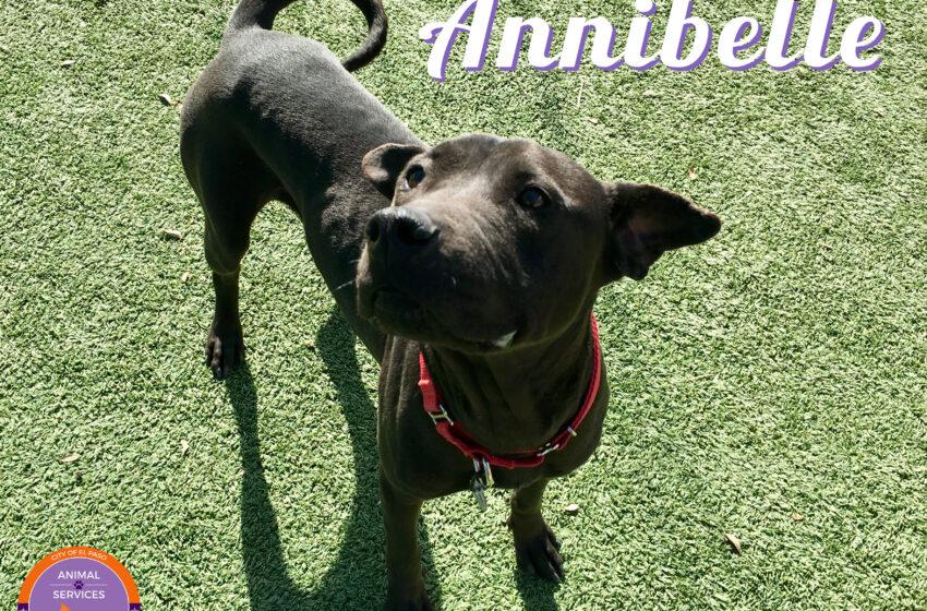 Animal Services Pet of the Week: Meet Annibelle