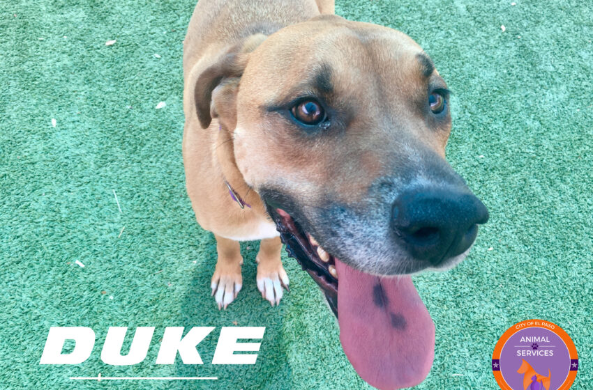 Animal Services Pet of the Week: Meet Duke!