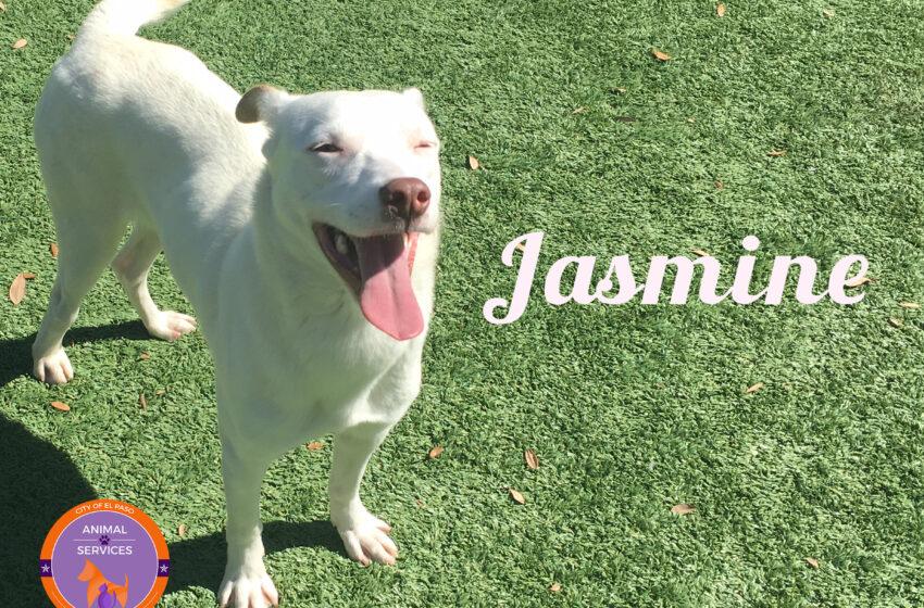 Animal Services Pet of the Week: Jasmine