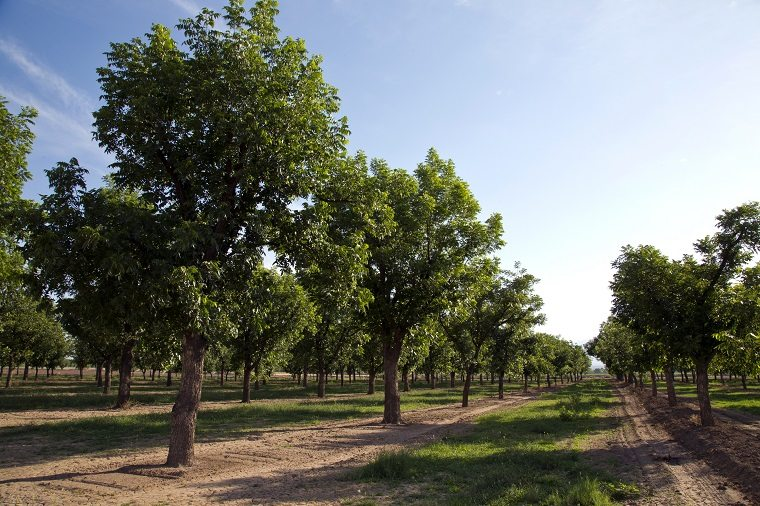 NMSU to host Western Pecan Production Short Course in October