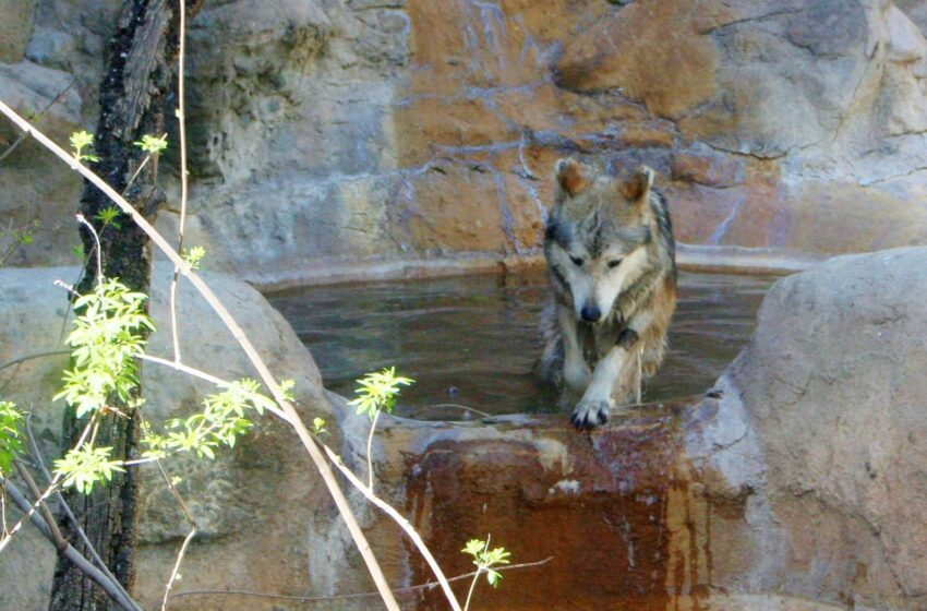 El Paso Zoo Welcomes new Mexican Wolf to Exhibit