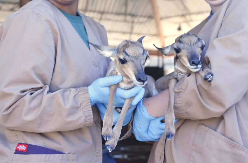 El Paso Zoo Welcomes Two Peninsular Pronghorn Fawns