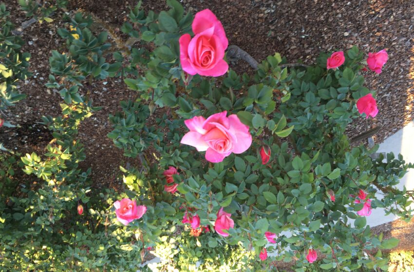 El Paso Rose Garden Open on Easter Sunday