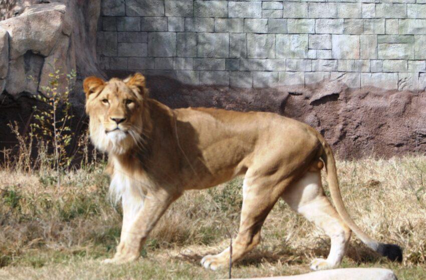 Rudo Prepares to be Leader of the Pride at El Paso Zoo