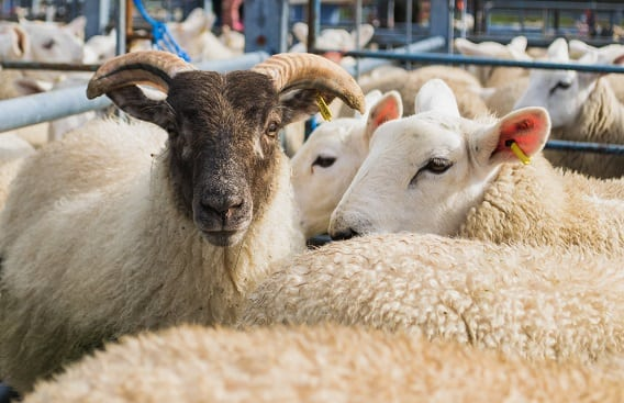 NMSU to Host Sheep, Goat Symposium in Conjunction with Ag Day Degree Program