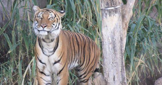 El Paso Zoo Tiger Loses Battle with Kidney Disease