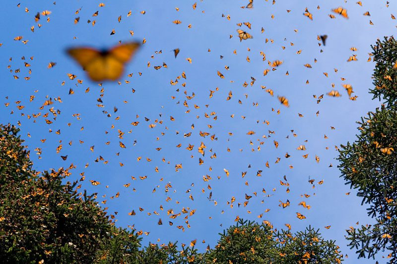 Monarch butterfly migration in full swing; Preservation efforts needed