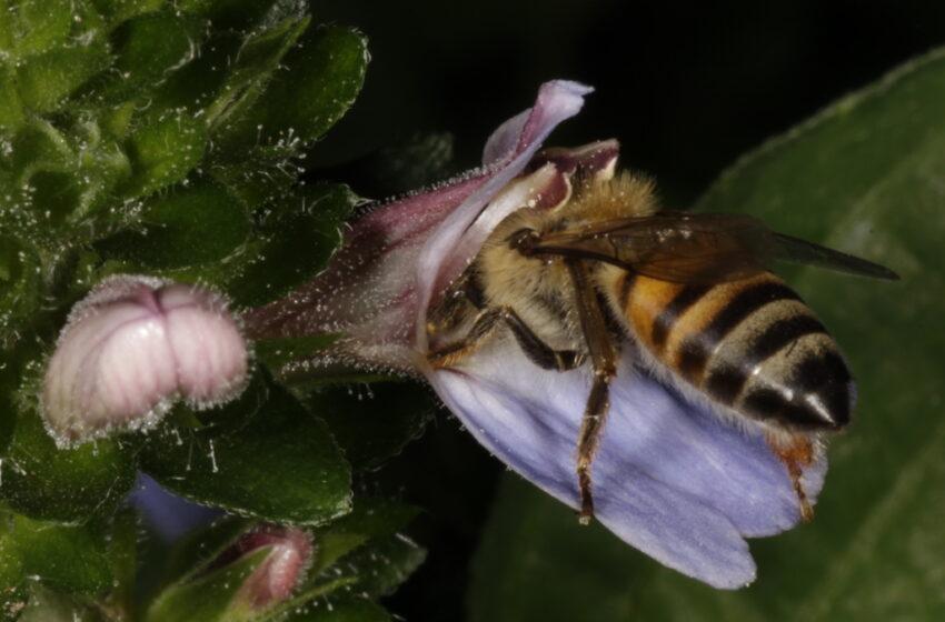 Report: Wild Bee decline threatens U.S. Crop Production