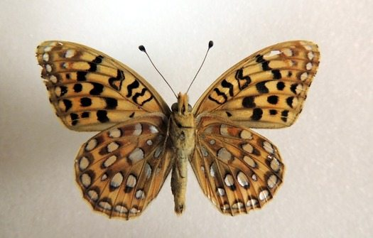 NM Butterfly designated for study as Endangered Species