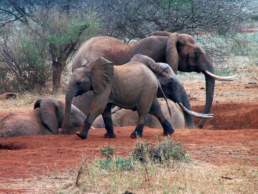 Animal Rights groups oppose importing 18 African Elephants to U.S.
