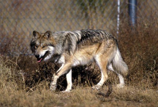 2 Endangered Mexican Wolves Die During Annual Population Count