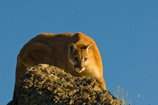Report: Trophy Hunters Kill Thousands of Rare Mountain Lions