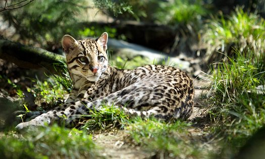 Feds Release Plan to Save Ocelot in Texas, Arizona