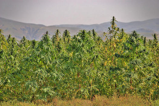 NM Hemp Farmers Breathe Easier with Federal Legalization
