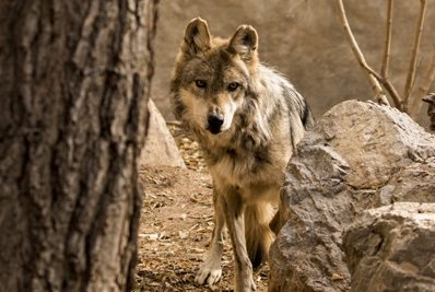 El Paso Zoo: Mexican Gray Wolf Dies, Staff Saddened