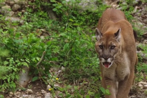 National Geographic Showcases Film about BRI Mountain Lion Research