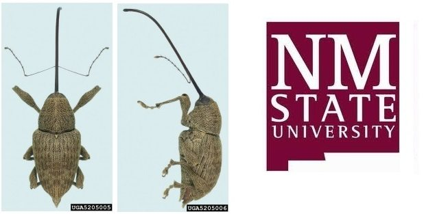 NMSU Cooperative Extension Service Assists with Pecan Weevil Identification, Education