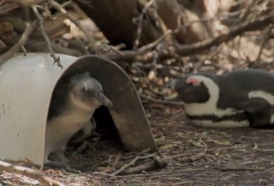 El Paso Zoo Donates to Kickstarter Campaign to Save Penguins from Extinction