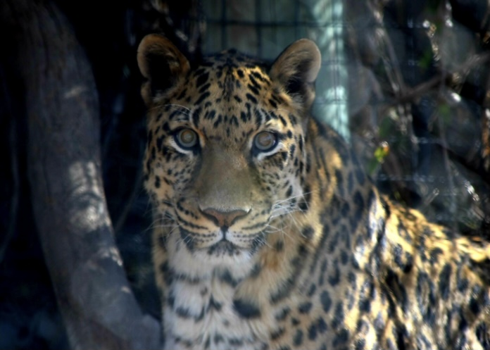 Ivan was born at the Erie Zoological Gardens on March 3, 1999. He arrived in El Paso in 2000 as part of the Association of Zoos & Aquariums (AZA) Species Survival Plan (SSP).  |  Photo courtesy EP Zoo