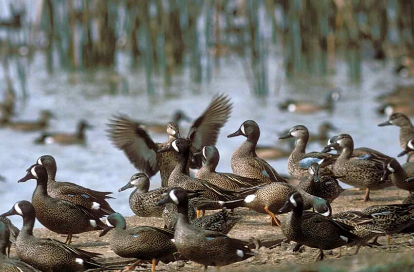 TPWD: Texas Teal Hunters can expect an 'Exceptional Season'