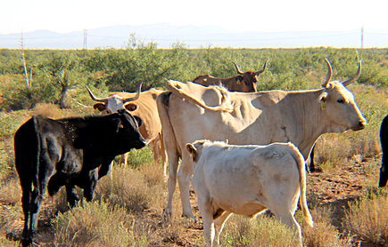 New Mexico State University is studying the impact of breeding heritage Raramuri Criollo cows with commercial beef bulls see if the crossbreed calves will be more marketable for the beef industry. The resulting crossbreed calves appear to be larger than the Raramuri Criollo calf. (NMSU photo)