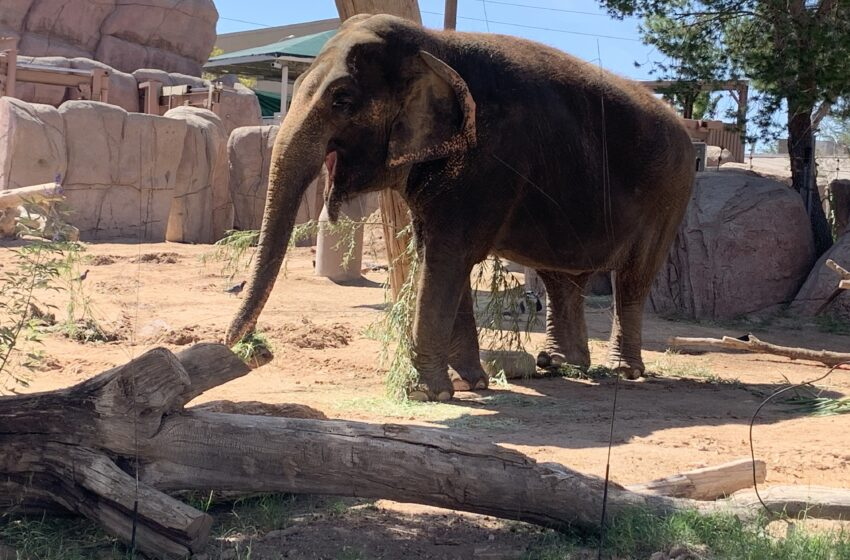 EP Zoo: Juno the Elephant recovering after successful Breast Cancer surgery