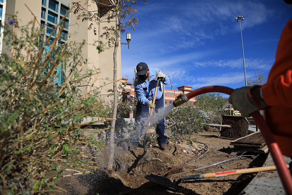 In celebration of Texas Arbor Day on Nov. 6, 2020, the grounds crew from UTEP's facilities services planted Chinese pistache trees outside the Mike Loya Academic Services Building. The Arbor Day Foundation has recognized UTEP for its continuous efforts to be a sustainable green space. Photo: J.R. Hernandez / UTEP Communications