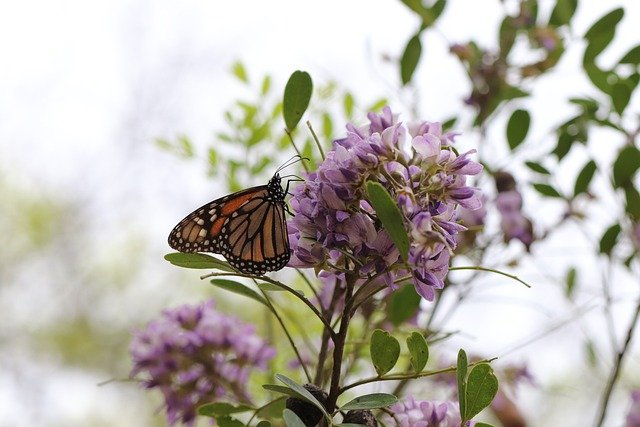 No relief from feds for threatened Monarch Butterfly