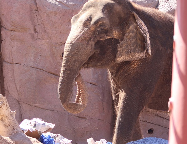 El Paso Zoo Elephants to predict Super Bowl Winner