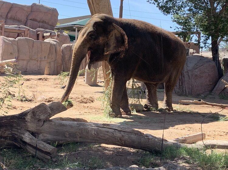 El Paso Zoo to host memorial for Beloved Asian Elephant Juno