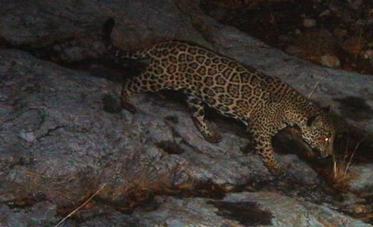 Scientists identify more Jaguar Recovery Habitat in NM, AZ