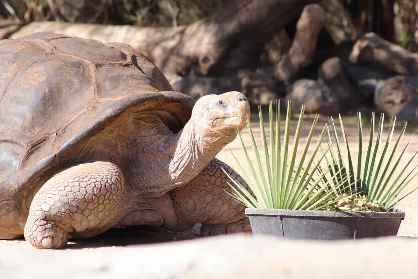 Ralph first came to the El Paso Zoo in 2016 after transferring from the Phoenix Zoo as part of a species survival plan from the Association of Zoos and Aquariums.