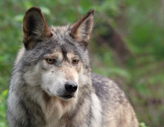 Mexican Gray Wolf Family relocates to friendlier NM Hunting Grounds