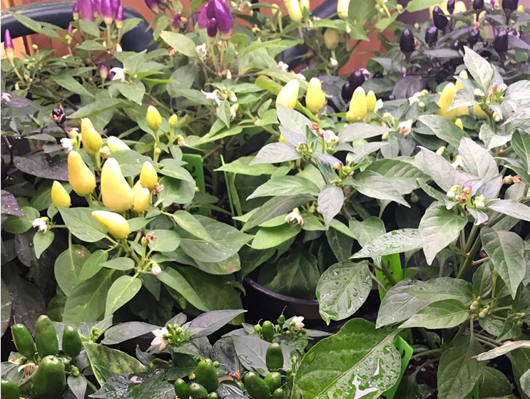 Ornamental chile peppers now on sale at NMSU Chile Pepper Institute