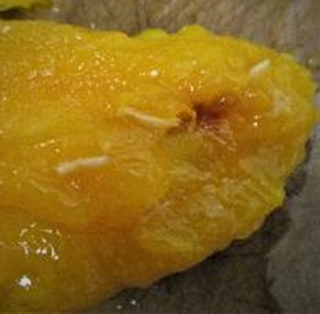 CBP Agriculture Specialists find Mangos with Fruit Fly larvae at 2 Ports of Entry